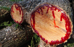 Dragon's Blood Trees drip blood re sap when cut.